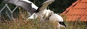 Storchenschutz und Storchenpflegestation